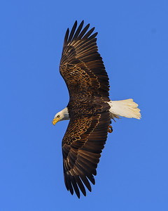 20140209-_DSC6062-Eagles-Edit.jpg