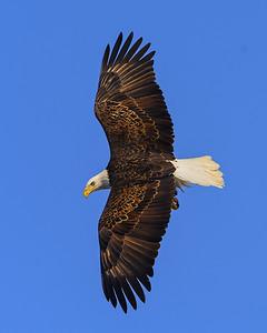 20140209-_DSC6062-Eagles-Edit.jpg
