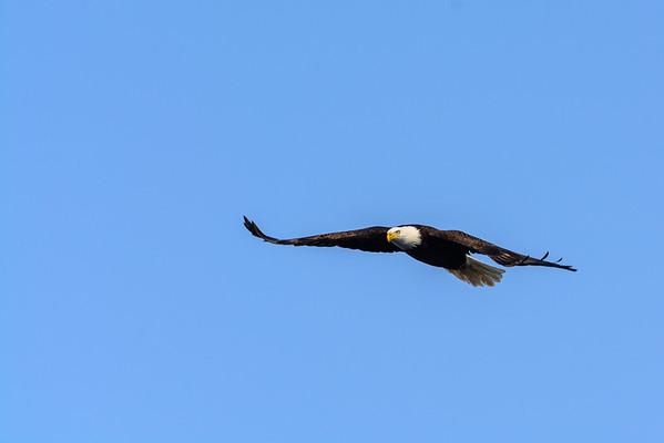 20140209-_DSC6087-Eagles.jpg