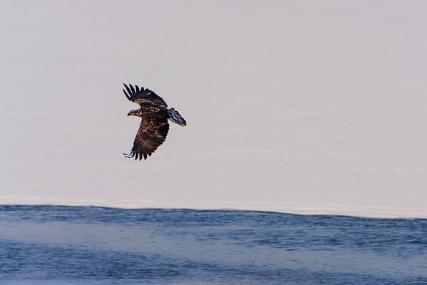 20140209-_DSC5696-Eagles.jpg