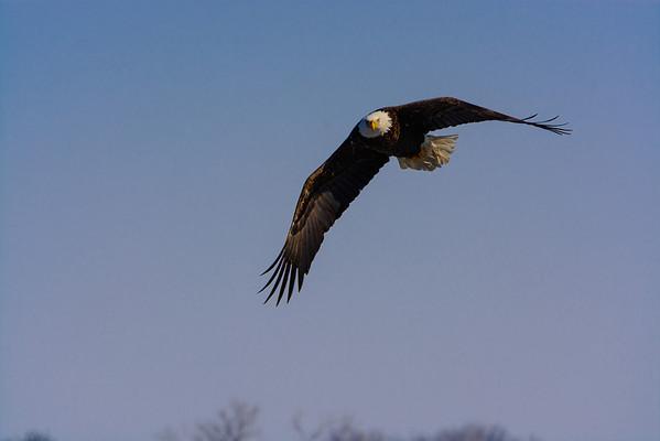 20140209-_DSC6070-Eagles.jpg